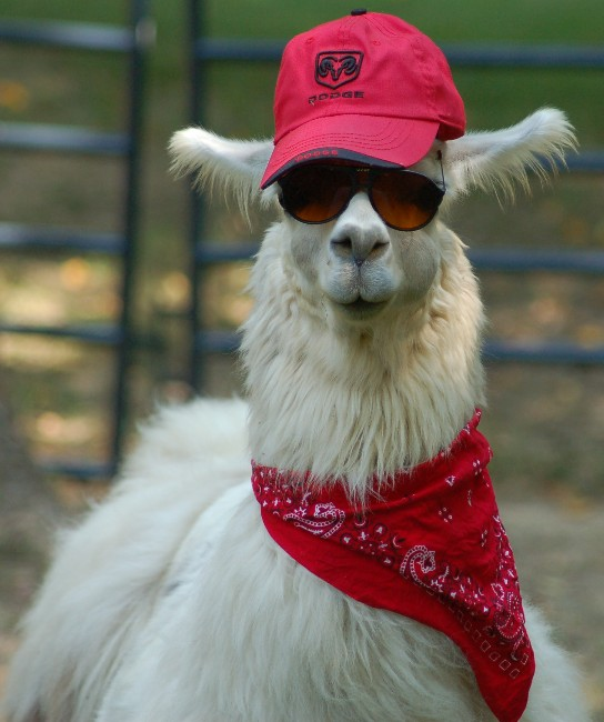 47fb6da953 This llama is a hipster llama (hence the glasses and scarf).